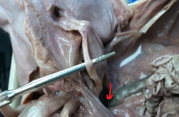 Colon Rectum Anus How To Dissect A Fetal Pig